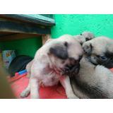 Hermosos Cachorros Pug, Desparasitados, Con Su Primer Vacuna