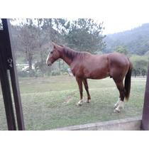 Cavalo Mestiço Argentino De Passeio