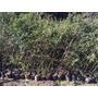 Plantas Para Cerco Plantines De Grateus En 3 Lts Vivero