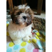 Shih Tzu Shihtzu Shitzu Cachorros Mini Miralos!