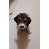 Cachorros Beagles Enanos Trricolor
