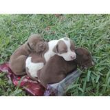 Cachorros Pitbull 100% Puros A La Venta