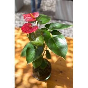 Kokedama De Anturio Flores Rojas Regalo Jardin Redondo