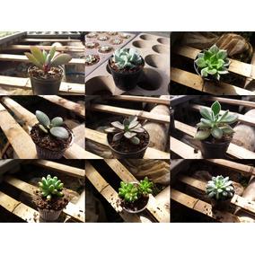 Planta Suculentas +50 Tipos