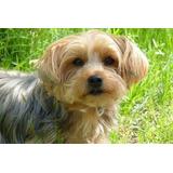 Cachorro Yorkshire 8 Meses Macho