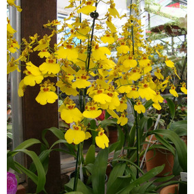 Mudas De Orquídea Pingo De Ouro - Oncidium