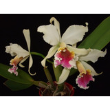 Orquidea Cattleya Rex