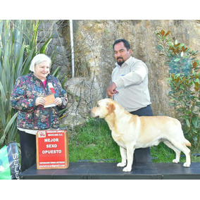Semental Labrador Retriver Amarillo Pedigree Internacional