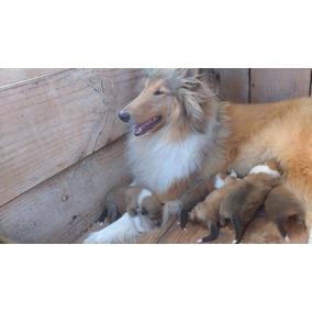 Filhotes Rough Collie (lassie )pelos Longo