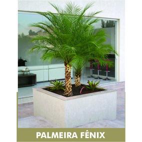 Muda De Palmeira Fenix