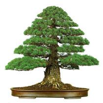 10 Sementes Bonsai Cryptomeria Japonica Árvore P/ Mudas