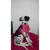 Cachorra Dalmata De 3 Meses Vacunas Completas