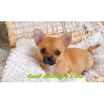Linda Filhote Fêmea De Chihuahua De Pelo Curto Com Pedigree