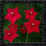Trepadeira Estrela Ipomoea Sementes Flor Para Mudas