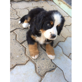 Bernese Mountain, Com Assistencia Veterinaria 6 Meses Gratis