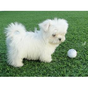 Cachorros Bichon Maltes 100% Raza Pura Aptos Para Cpr