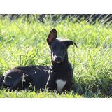 Adopción Cachorro Galgo Mix Border Collie Leer Condiciones