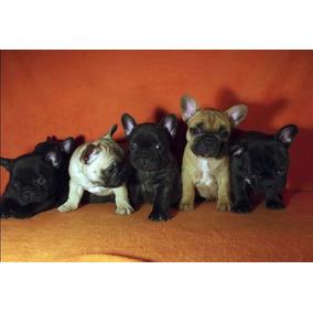 Bulldog Francés Excelente Linea De Sangre, Fca. Hembra