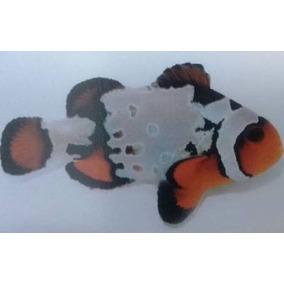 Clown Fancy Snowflake Extreme ( Amphiprion Ocellaris )
