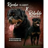 Vendo Cachorros Rottweilers , 2 Machitos Disponible
