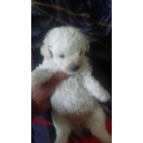 Filhote De Poodle Micro Toy Entrego