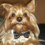 Yorshire Terrier Face Dolls Mini Con Pedigree Para Monta
