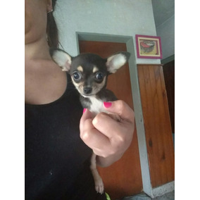 Chihuahua Super Mini Real Hembra Cachorra