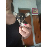 Chihuahua Super Mini Real Hembra Cachorra