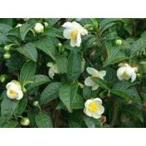 Camélia Sinensis - Chá Verde / Preto Kit 10 Mudas