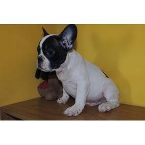 Cachorro Bulldog Francés Macho Vaquita Fca