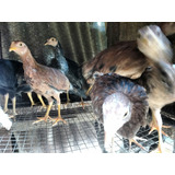 Pollas Españolas