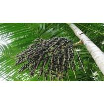 Açaí Anão Brs Pará - Muda De Qualidade 40cm 3 Folhas