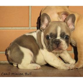 Bulldog Frances Macho Blue Fawn Pied Lindo Top Pedigree Cbkc