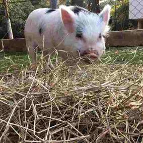 Feno Para Mini Pig Pacote 2 Kilos