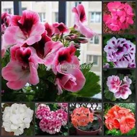 20 Sementes Kit Gerânio. Planta Flores Bonsai