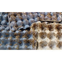 Alimento Grillos Millar: 1000 Grillos - Grillo Vivo - Promo