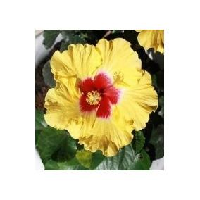 Muda Para Jardins - Hibisco Amarelo
