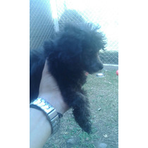 Caniche Negro Mini Toy Hasta 3 Kg Fotos Reales