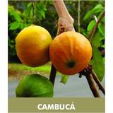 Kit Muda Goji Berry, Cambucá, Cerejeira E 200 Sementes Ipe