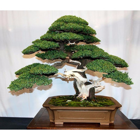 5 Semillas Bonsai Junipero