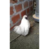 Gallo Sedoso Del Japón O Pomposo