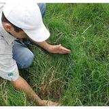 #sementes De Capim Vaquero P/ Equinos,bovino,ovinos ( 5 Kl)