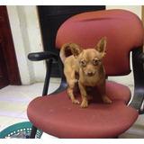 Chihuahueño Macho Cachorro Cabeza De Venado