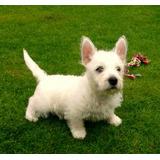 Cachorros West Highland Terrier Inscritos