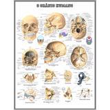 Mapa Do Crânio Humano Hd 75x100cm Medicina Poster Sem Dobras
