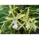 Orquideas Plantas Adultas 2 Plantas X 100 Orquidea M.a.g