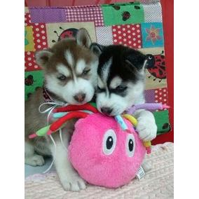 Husky Siberiano Os Mais Lindos Lobinhos