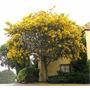 Acacia Baileyana-mimosa 4 Litros Z/ Mataderos