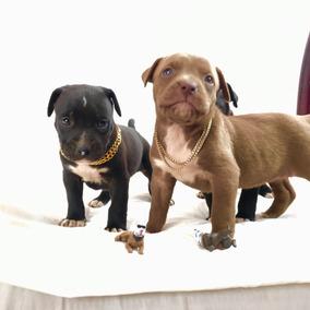 Cachorros Pit Bull
