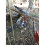 Pollos De Pelea Giros Rancho Las Trojes